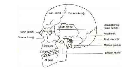Yüz Anatomisi kafatasının yandan görünüşü