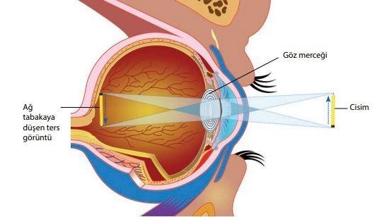 Göz | Duyu organları | Biyoloji 4